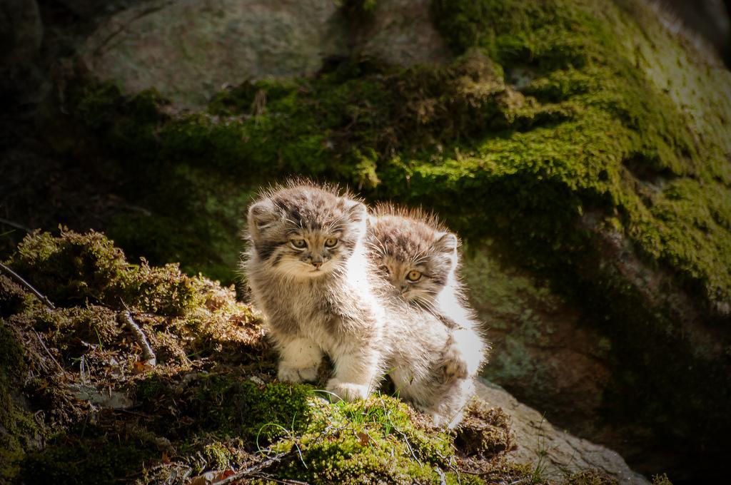 Pallas katter